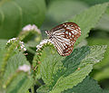 Glassy Tiger (Parantica aglea) on Indian Turnsole (Heliotropium indicum) at Jayanti, Duars, West Bengal W Picture 432.jpg