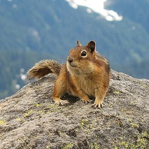 Description de l'image Golden-Mantled Ground Squirrel, Mount Rainier, July 2006.jpg.