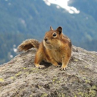 Cascade golden-mantled ground squirrel - Image: Golden Mantled Ground Squirrel, Mount Rainier, July 2006