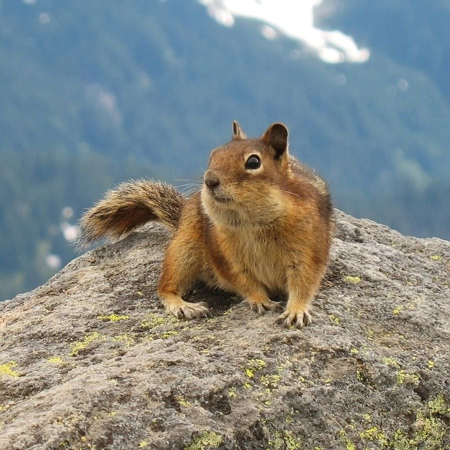 File:Golden-Mantled Ground Squirrel, Mount Rainier, July 2006.jpg