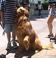 Golden Retriever 3.jpg