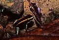 Golfo Dulce Poison Dart Frog (Phyllobates vittatus) (36808977116).jpg