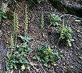 Goodyera oblongifolia (Western rattlesnake plantain).jpg