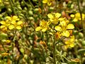 Gordon's Bladderpod - Flickr - treegrow.jpg