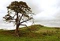Gorse strewn grazing - geograph.org.uk - 430866.jpg