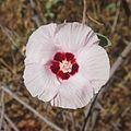 Gossypium australe flower.jpg