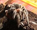 Grammostola rosea subadult 3.jpg