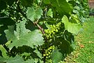 Grapes on a vine.jpg