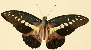 <i>Graphium wallacei</i> species of insect