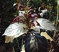 Graptophyllum pictum 02.JPG