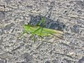 Grasshopper, Ardennes.JPG