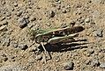 Grasshopper (6801348534).jpg