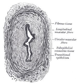 Muscular layer - Histological section of the ureter, showing the thick muscular layers surrounding the lumen.