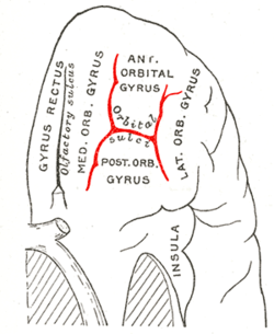 Gray729 orbital sulcus.png