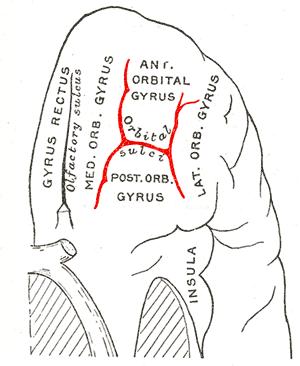 Orbital sulcus - Orbital surface of left frontal lobe.