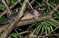 Gray Four-eyed Opossum (Philander opossum) - Flickr - berniedup (1).jpg