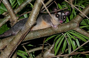 Gray Four-eyed Opossum (Philander opossum) - Flickr - berniedup (1).jpg
