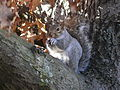 Gray Squirrel Boston.jpg
