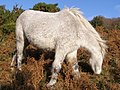 Grazing pony on Burley Hill, New Forest - geograph.org.uk - 288176.jpg