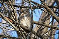 Great-horned owl at Minnesota Valley National Wildlife Refuge (30810298083).jpg
