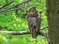 Great Horned Owl, Schlitz Audubon Center, Milwaukee, Wisconsin 2.jpg