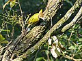 Greater Yellownape (37331653650).jpg