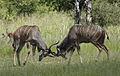 Greater kudu, Tragelaphus strepsicerosm - bulls locking horns in Kruger Park (13650195365).jpg
