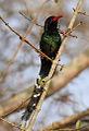 Green Wood Hoopoe, Phoeniculus purpureus, at uMkhuze Game Reserve, kwaZulu-Natal, South Africa (15412444306).jpg