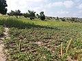 Green field of Kertee.jpg