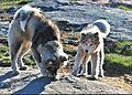 Greenlandic Huskies! (8173032562).jpg