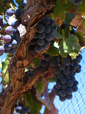 Grenache - The strong wood canopy of Grenache allows it to thrive in a windy climate but also makes mechanical harvesting and pruning difficult.