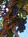 Grenache grapes on vine.jpg