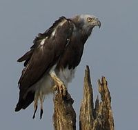 Grey-Headed-Fish-Eagle Stephen Cooper cropped