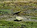 Grey Wagtail (Motacilla cinerea) (15862372216).jpg
