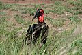 Ground Hornbill (6827595232).jpg