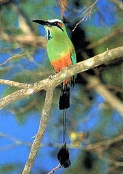 Guardabarranco (Turquoise-browed Motmot): the national bird.