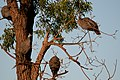 Guineafowl up a tree (6824239986).jpg