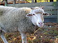 Gulf Coast native sheep close-up.jpg
