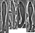 Gymnopus perforans (10.3897-mycokeys.18.10007) Figure 34.jpg