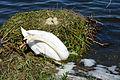 Höckerschwan mit Nest, Cygnus olor, nests with eggs 12.JPG