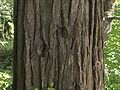 H20110613-3607--Calocedrus decurrens (bark)--RPBG (32272123536).jpg