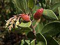 H20140731-3146—Tamalia coweni (Manzanita Leafgall Aphid) on Arctostaphylos parryana—RPBG (14636065667).jpg