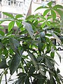 HK 天后 Tin Hau 永興街 Wing Hing Street October 2017 IX1 Palm compound leaves green 01.jpg