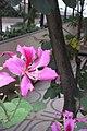 HK 灣仔 Wan Chai 皇后大道東 Queen's Road East 胡忠大廈 Wu Chung House Rest Garden West wing 宮粉羊蹄甲 Bauhinia variegata flower pink Nov 2017 IX1 06.jpg