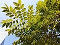 HK 香港公園 Hong Kong Park 植物 樹木 plant yu tree green leaves December 2020 SS2 08.jpg
