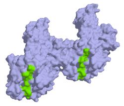 α-/β-Gliadin