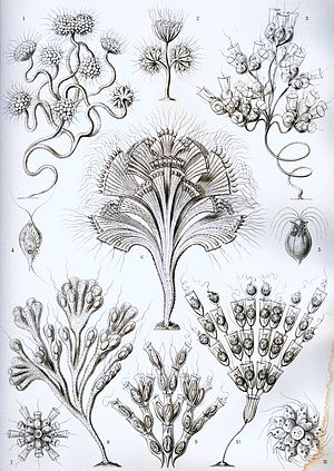 "Flagellate - ""Flagellata"" from Ernst Haeckel's Artforms of Nature, 1904"
