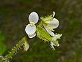 Hairy Begonia (Begonia conipila) flowers (15310175820).jpg