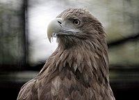 Haliaeetus-albicilla-002