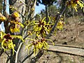 Hamamelis japonica5.jpg